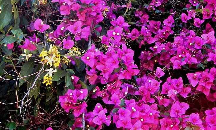 Бугенвиль, Рептилия, Цветы, розовый, яркий, желтый