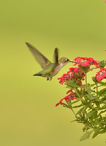 hummingbird, bird fly, flower