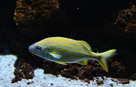 peix de mar, peix, peixos de corall, Aquari