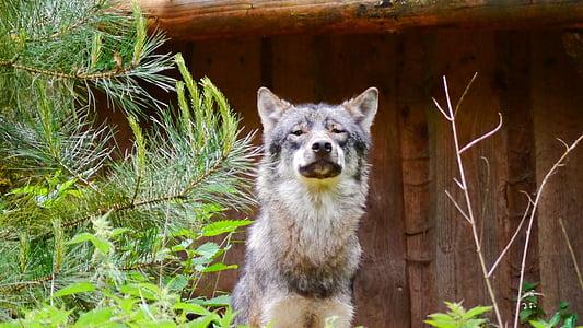 wolf, predator, canis lupus, hunter, wild animal, mammal, forest dwellers