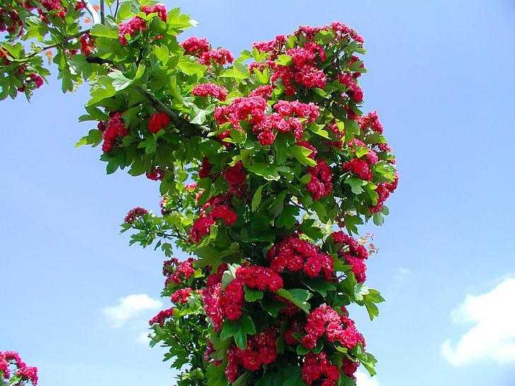 Rosa, natura, flors roses, flor, flor, rosa vermella, Rosa de jardí