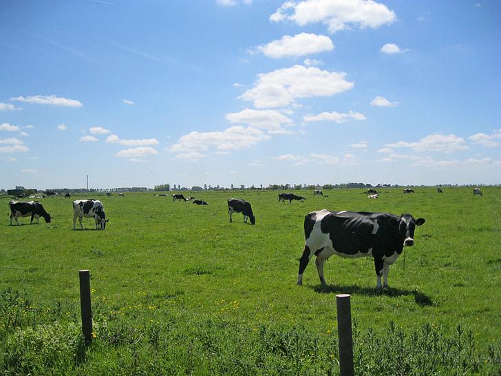vaques, Frísia Oriental, les pastures, horitzó, animals