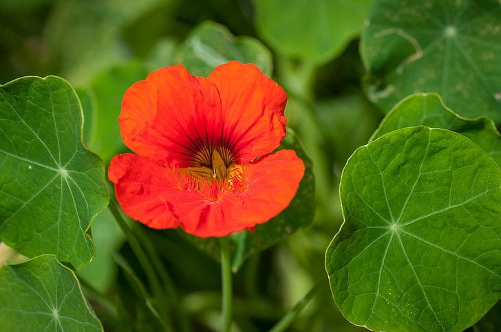 cress, nasturtium, carbine greenhouse, blossom, bloom, red, plant