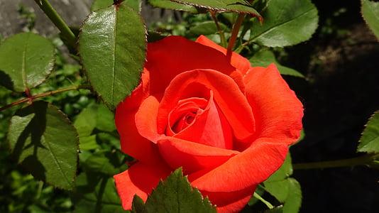κόκκινα τριαντάφυλλα, τριαντάφυλλο, κόκκινο, αυξήθηκαν οι ανθίσεις, κόκκινο τριαντάφυλλο, λουλούδι, λουλούδι στον κήπο