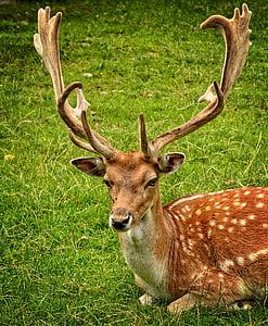 가지 진 뿔, 뿔 캐리어, 휴 경지 사슴, 허쉬, dama dama, 남성, 야생 동물