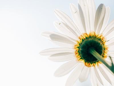 데이지, 꽃, 공장, 관점, 아래에서, 하얀, 노란색
