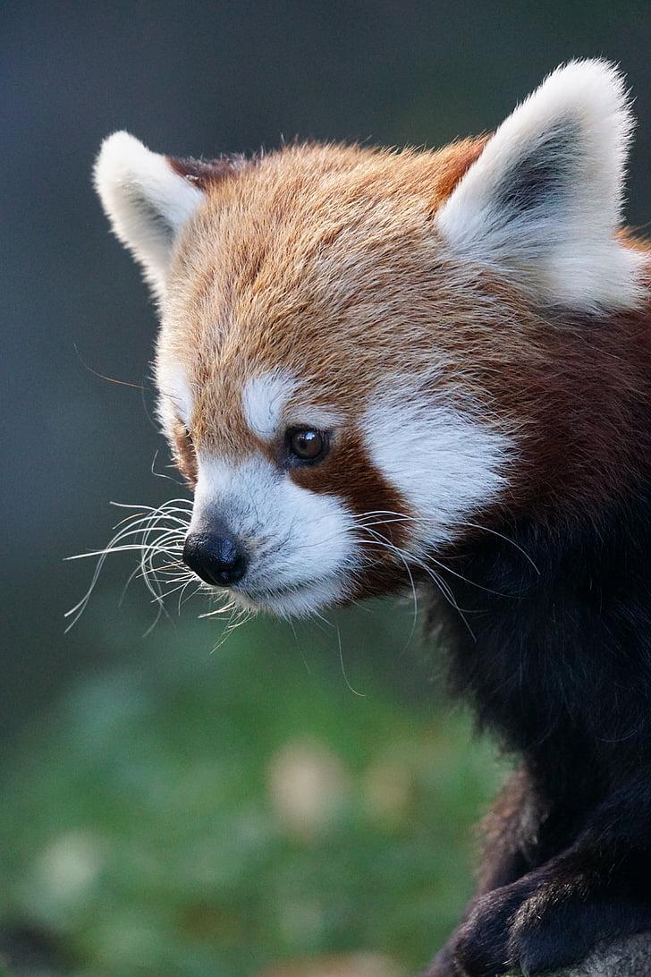 панда, Червена панда, огън лисица, злато куче, Сладък, животински свят, затвори