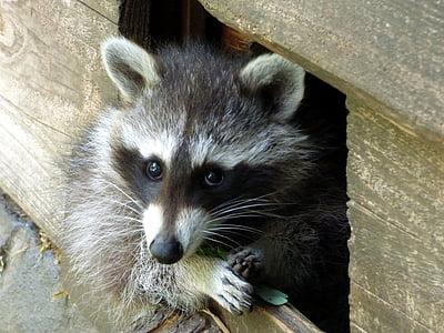 raccoon, curious, head, scaly, mammal, nature, cute