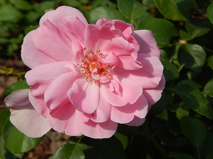 Rosa, flor, Roses roses, pètals