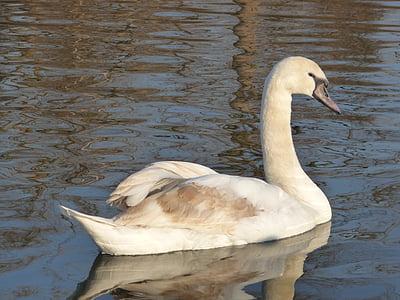 Лебедь, утка, животное, озеро, пруд