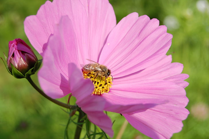 flower, plant, spring, pink, cosmea, petal, nature