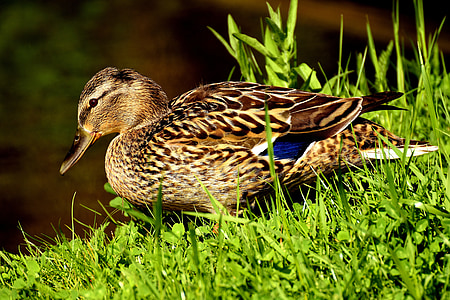 duck, mallard, water bird, duck bird, animals, bird, nature
