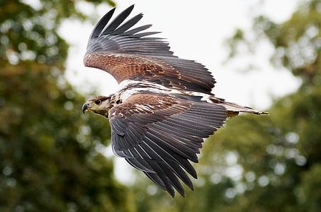 Đại bàng Phi câu cá, chim săn mồi, Đại bàng, Câu cá, con mồi, con chim, Châu Phi
