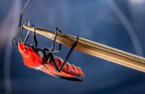 ด้วง, ด้วงแดง, แมลง, แมโคร