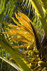 coconut, palm, blooms