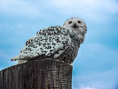 독수리 올빼미, 올빼미, 새, 동물, 유우 라 시아 독수리 올빼미는 유럽, 깃털, 눈