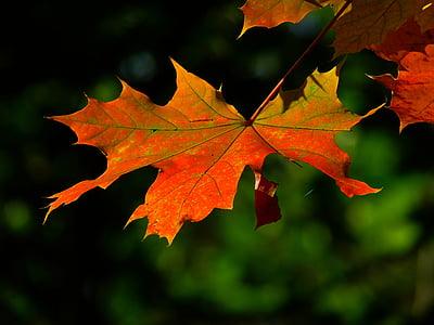 jesień, liść, kolorowe, pozostawia, klon, czerwony liść, Spadek liści