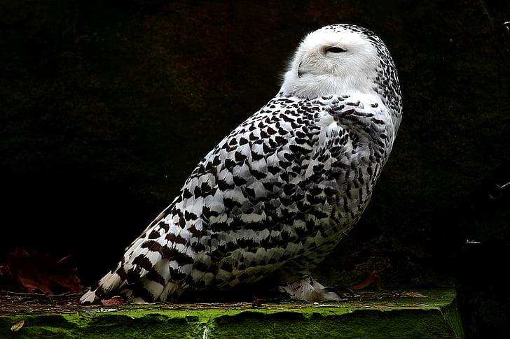 snowy owl, animal, feather, bird, white, nature, one animal