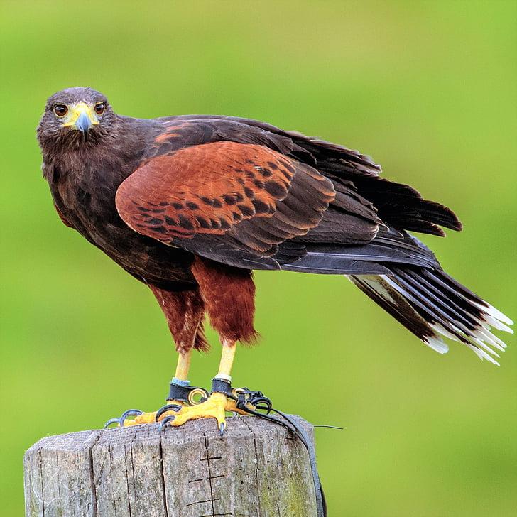 Harris, Hawk, lintu, eläinten, nokka, Predator, Luonto