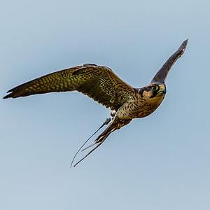 Lanner falcon, petolintu, saalis, Falcon, lintu, Lanner, Luonto
