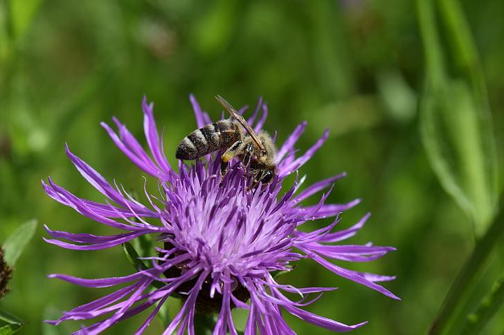 mehiläinen, nurmikaunokki, Centaurea maassamme, oli nurmikaunokki, kerätä, Blossom, Bloom