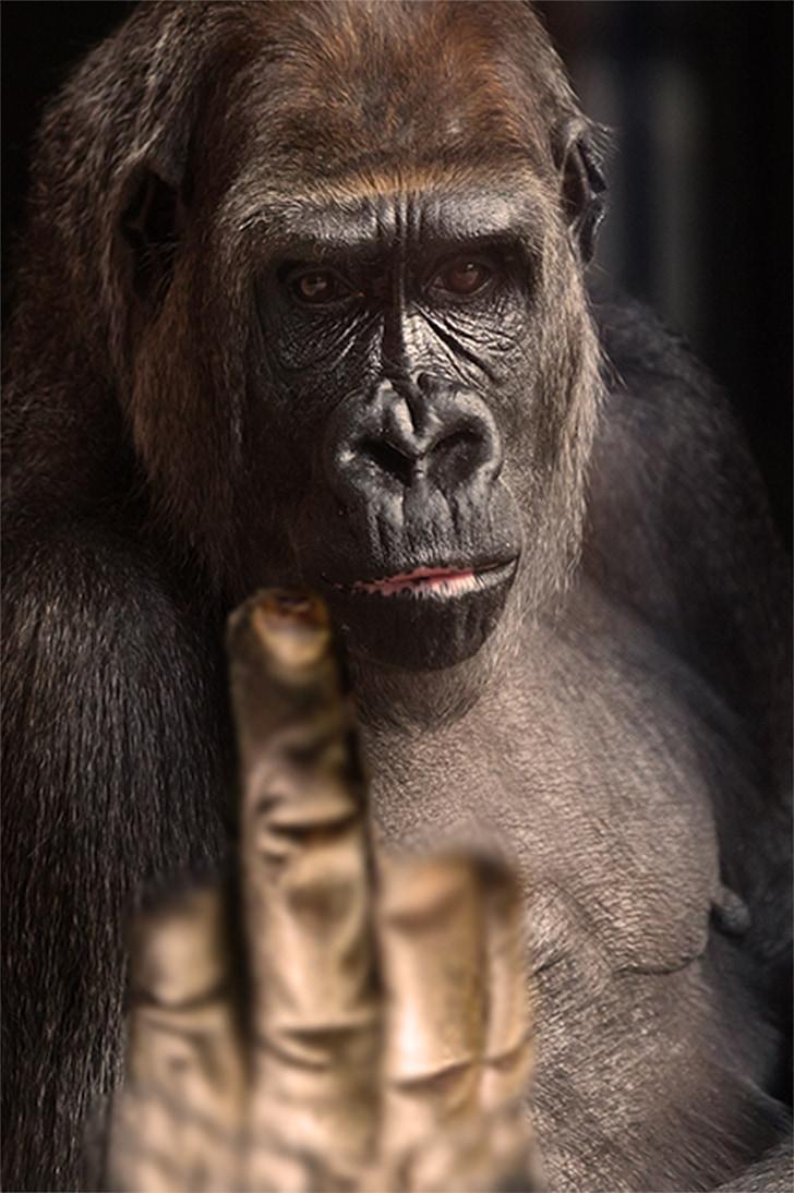 vinger-gebaar, Gorilla, gebaar, vinger