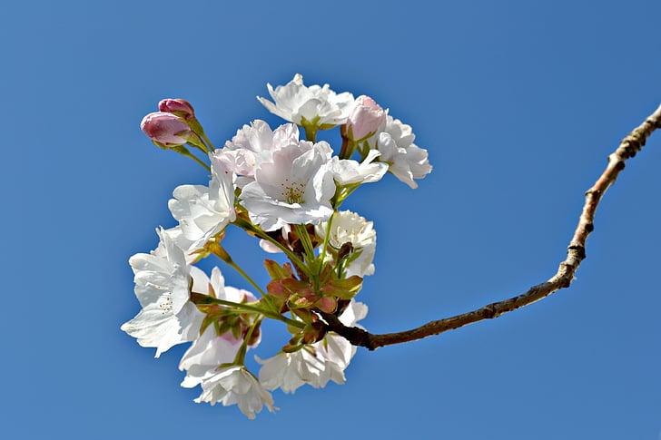 flors, flors, cirera japonesa, primavera, cel blau, natura, flors de color rosa