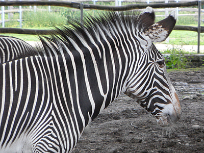 zebra, striped, black and white, head, front piece