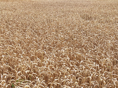 camp, blat, camp de blat