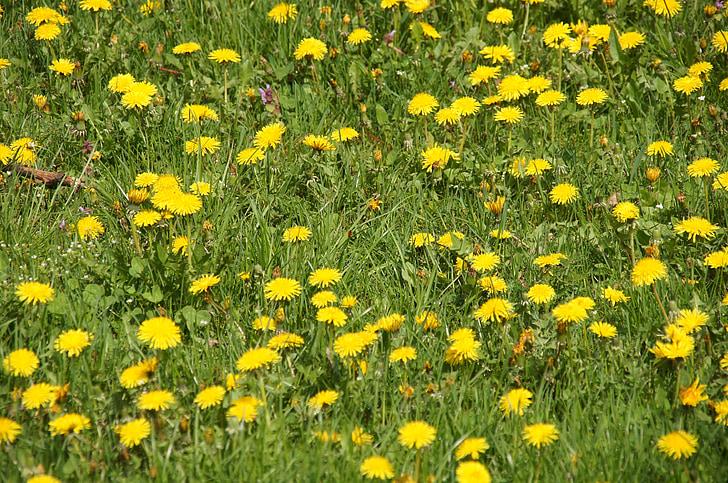 flors, planta, productes medicinals, monges, dent de Lleó, flor, dent de Lleó