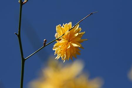 lill, kollane, kollane lill, õis, Bloom, loodus, Sulgege