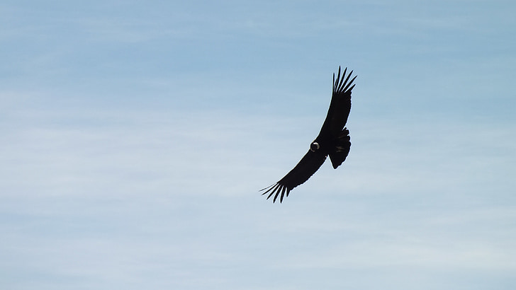 Condor, Peru, Fly, obloha, mraky, krajina, Dom