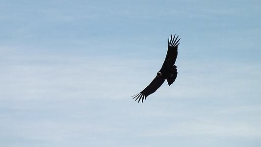 Condor, Peru, vliegen, hemel, wolken, landschap, Dom