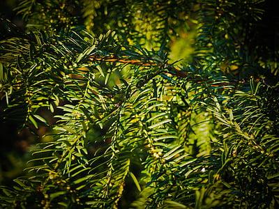 fir, branches, tannenzweig, pine needles, branch, needles, green