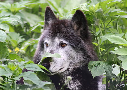 wolf, wolves, wildlife, animal, canine, lupus, carnivore