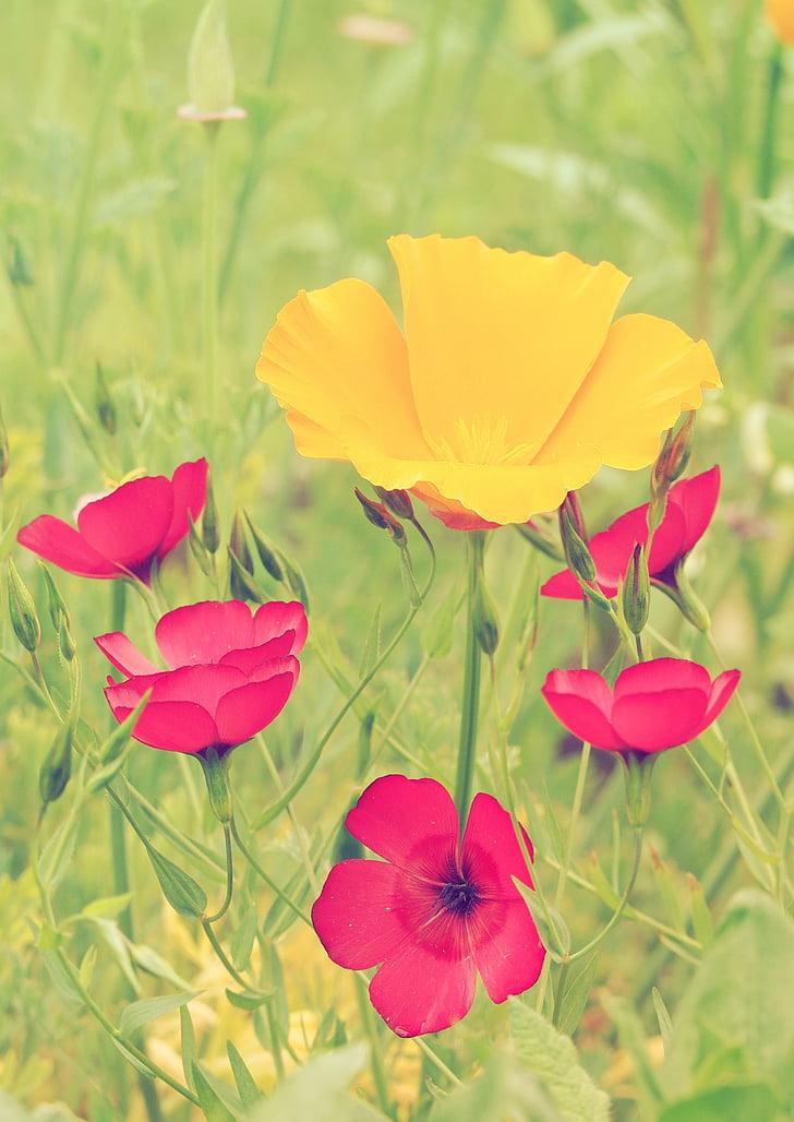 Маки, Лін, червоний, квіти, завод, Природа, червоні квіти