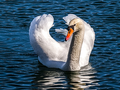 swan, mute swan, water bird, bird, nature, animal
