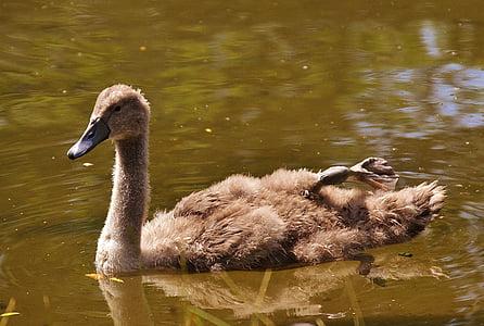 swan, young animal, bird, waters, water, water bird, feather