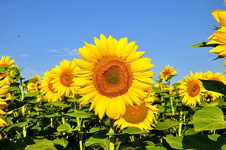 päevalill, kollane lill, suvel, taimed