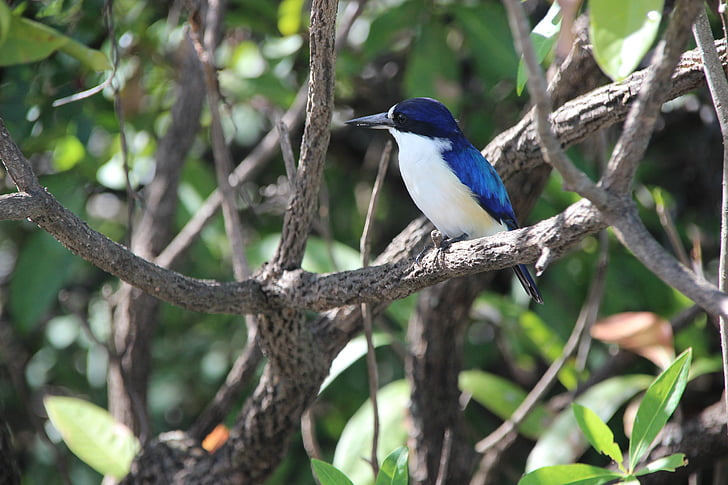 Vodomar, ptica, priroda, alcedinidae, plava