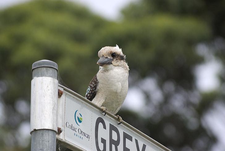 Ljepo, Sveto Vodomar, Australija, ptica, Vodomar, životinja, biljni i životinjski svijet
