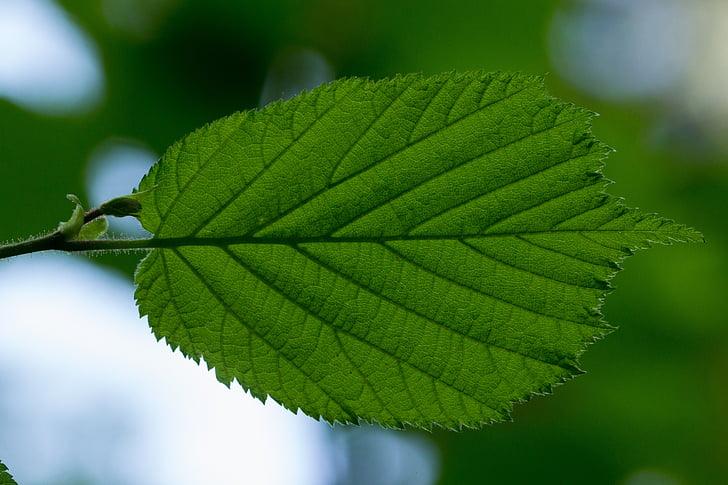 fulla, Avellaner, fulles d'avellaner, venes, estructura de la fulla, estructura, verd