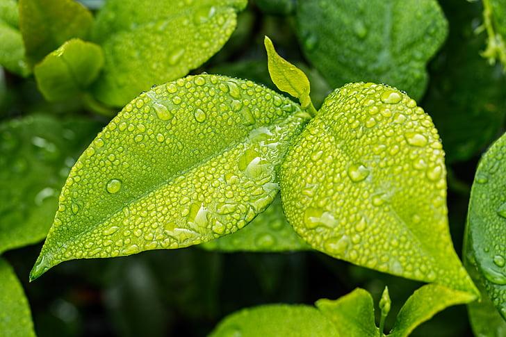 Leaf, Zelená, zeleň, zelené listy, tmavozelená, Príroda, rastlín