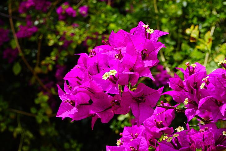 Бугенвиль, Цветы, розовый, Буш, Бугенвиль, тройной цветок, четыре часа завод