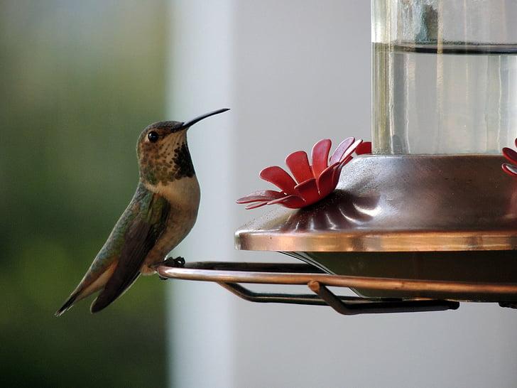 chim ruồi, chim, mỏ, lông, biped, con chim, động vật