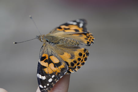 vlinder, vinger, hand, insect, natuur, geland, sluiten