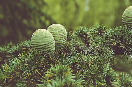 life, beauty, scene, pine cones, pine, earth, nature