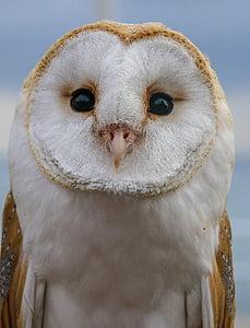 ave, bird of prey, owl, alert, feathers, birds of prey, peak