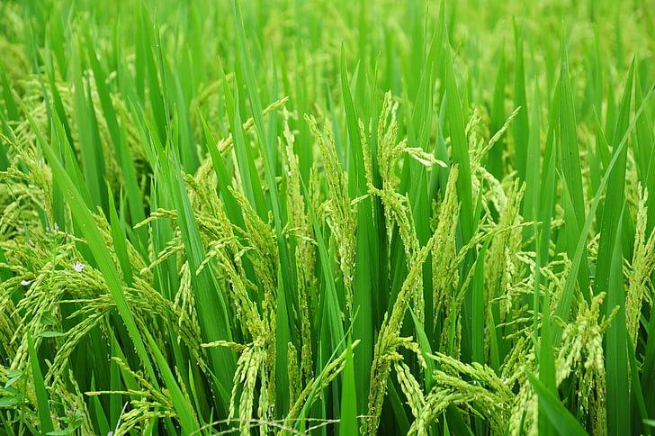 rice, field, paddy, food, green, farm, nature