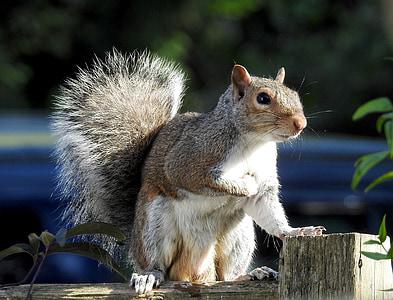 vida silvestre, esquirol, valent